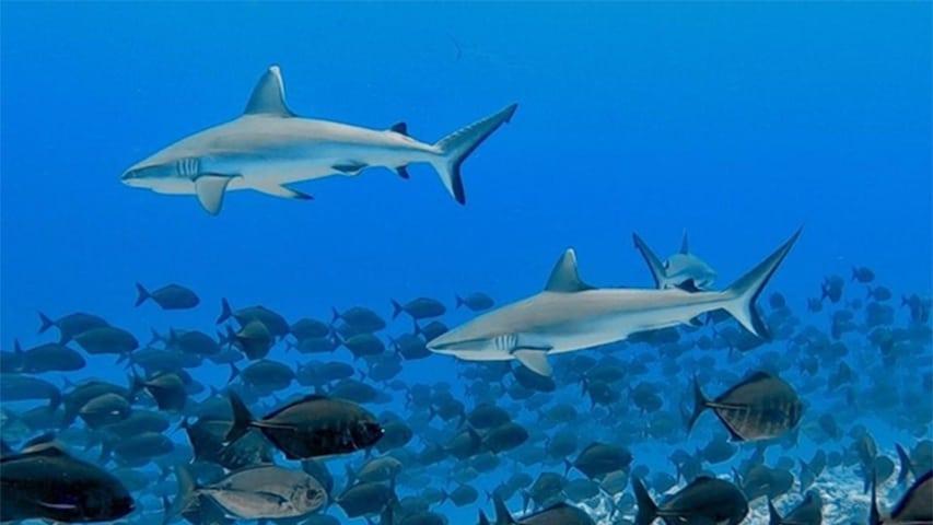 Malediwy nie przywrócą połowów rekinów