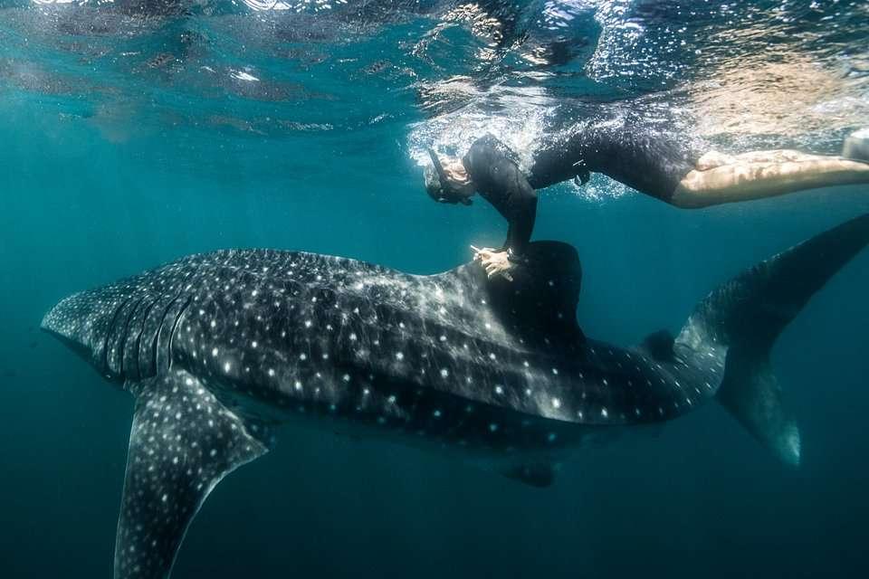 Freediver i rekin wielorybi
