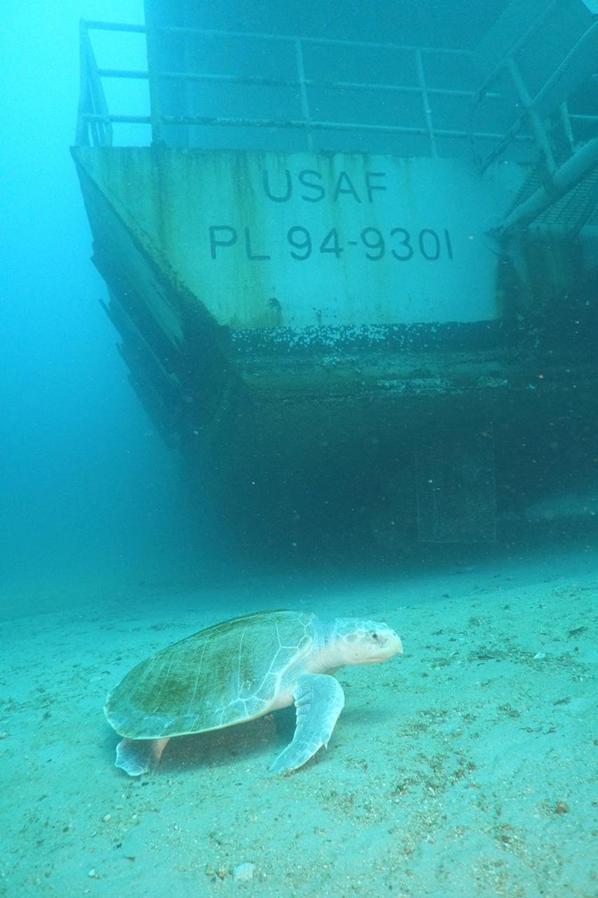 Żółw morski na sztucznej rafie