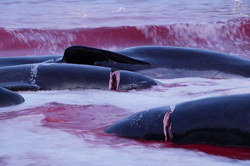 pocięte ciała delfinów