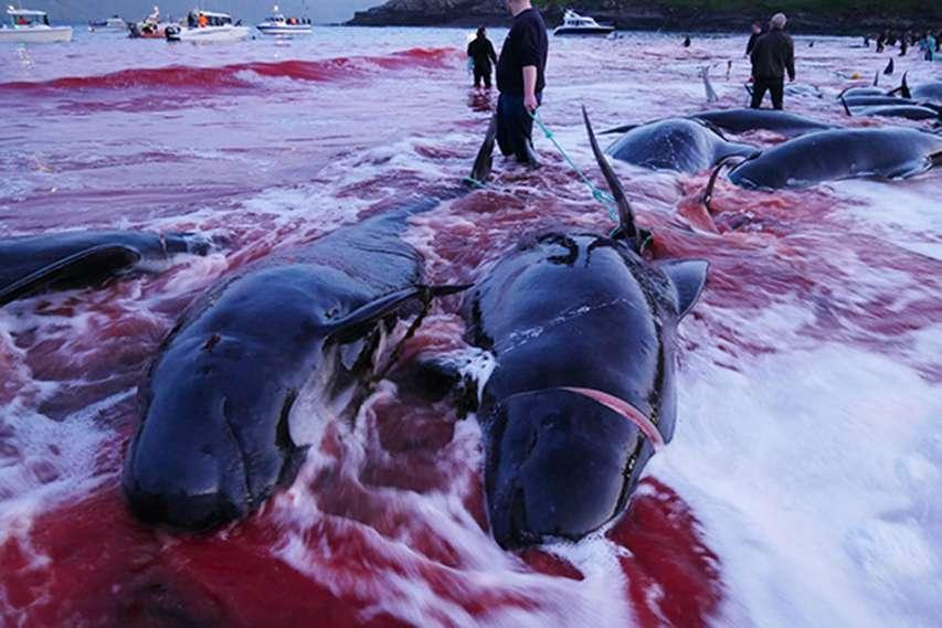 delfiny zarżnięte na Wyspach Owczych