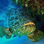 Na Florydzie wrócą polowania na goliath groupery